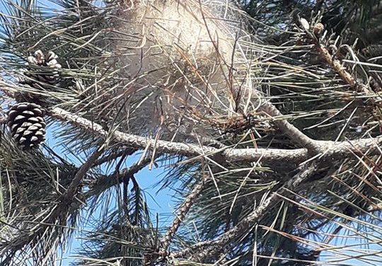 Lotta biologica alla Processionaria del pino (e del cedro!)