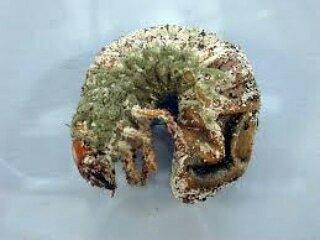 Impiego di Batteri, Virus e Funghi come bioinsetticidi (a cura del dott. Domenico Prisa)
