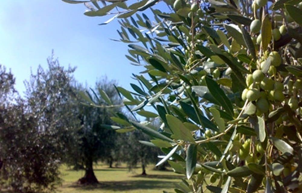 GESTIONE NATURALE DELL'OLIVO: GIORNATA TECNICA A ROMA E SAN GIULIANO TERME (PISA)